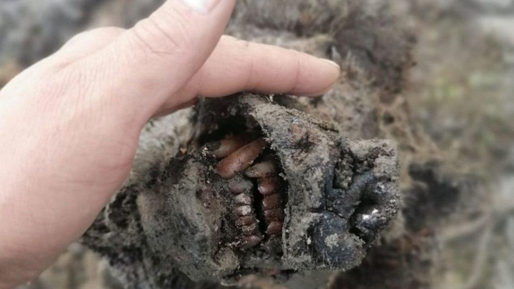 Hallan un oso de la Edad de Hielo en Siberia