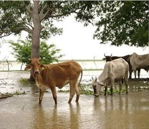 Mueven ganado de Tlacotalpan a Alvarado por riesgo de inundación: Ortega