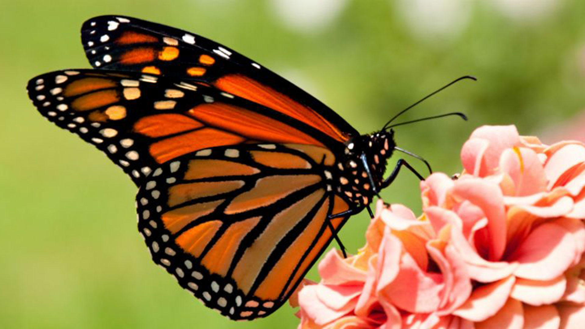 Primeras mariposas Monarca llegan a bosques de Michoacán