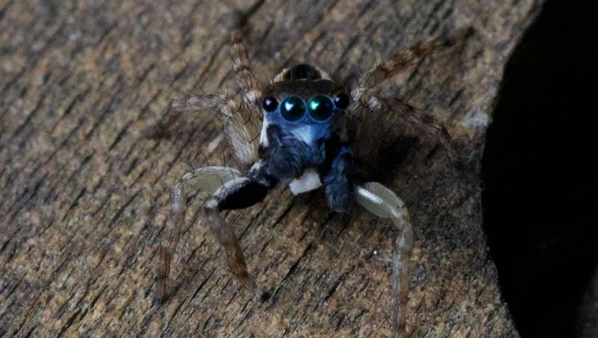 Descubren una nueva araña diminuta, saltarina y azul.
