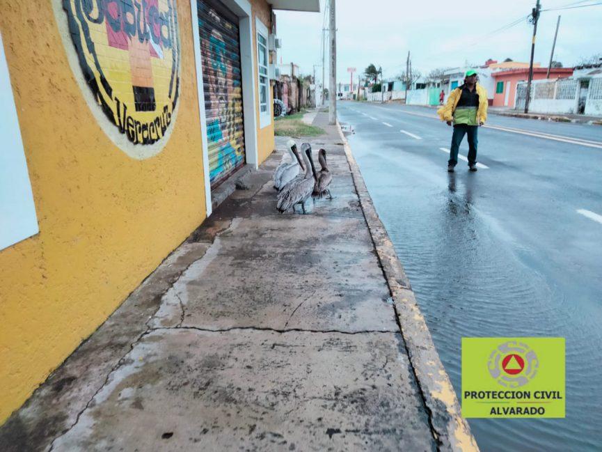 Parvada de pelícanos es rescatada en Antón Lizardo por Protección Civil