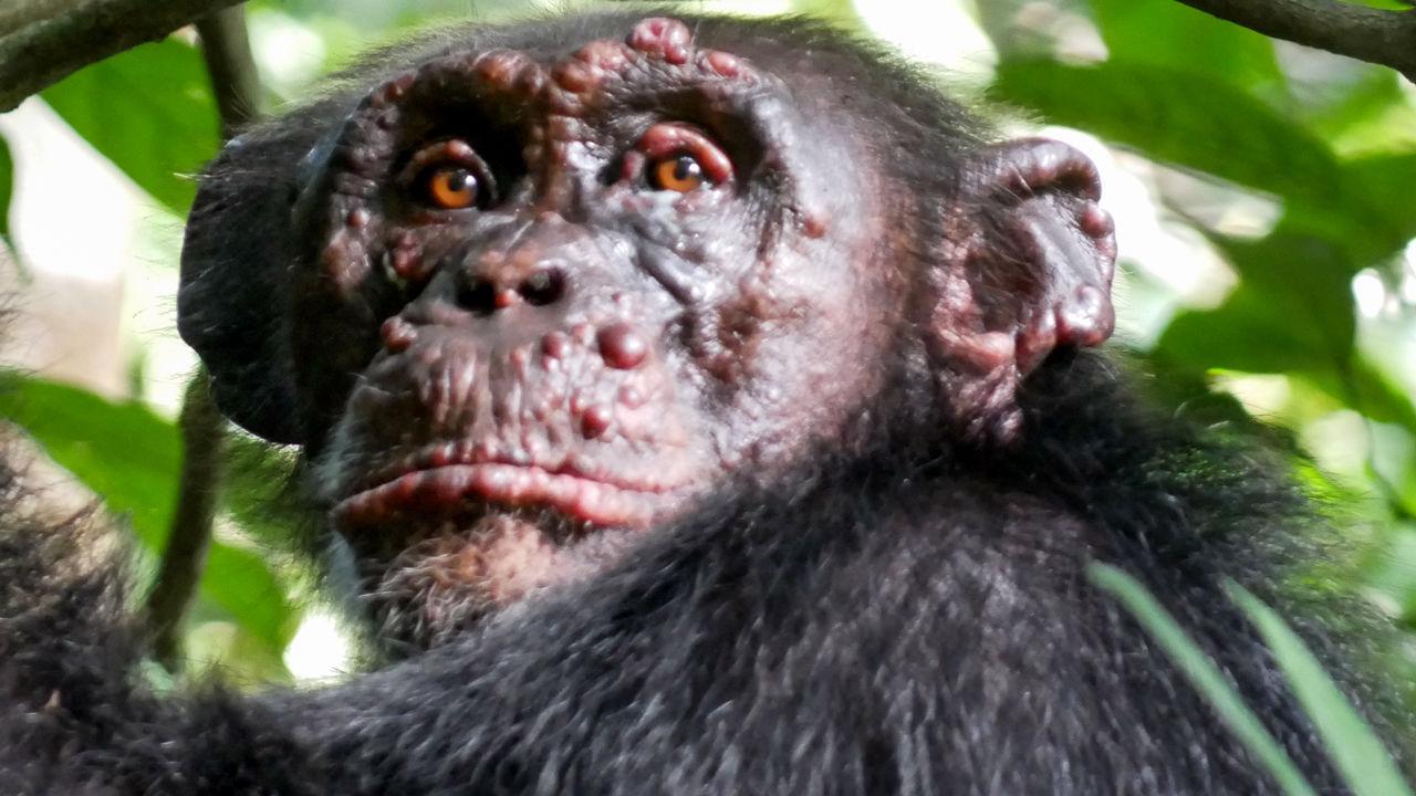 Descubren chimpancés infectados con lepra.