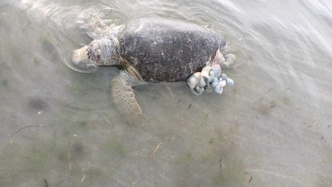 Encuentran tortuga muerta en playa de Boca del Río