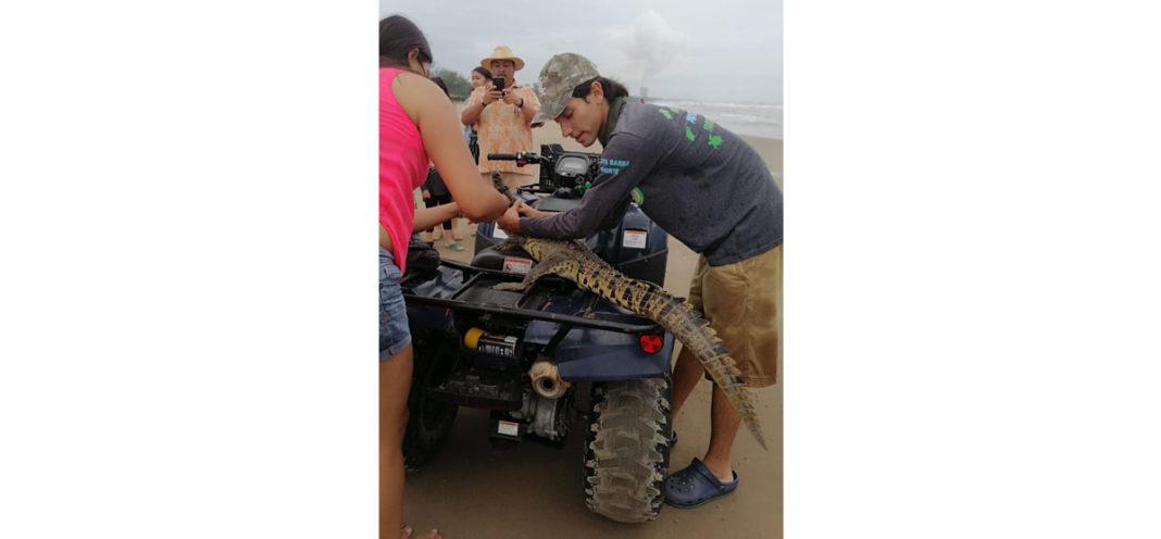 Ubican cocodrilo en playas de Tuxpan, lo liberan en zona de manglares