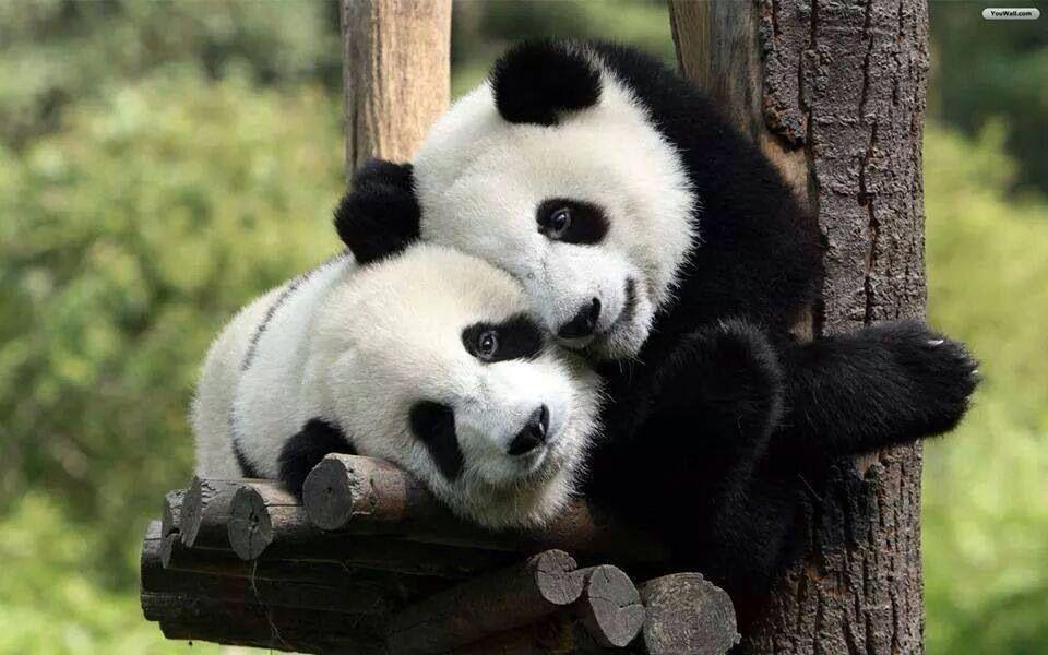 El oso panda ya no es considerada especie en peligro de extinción