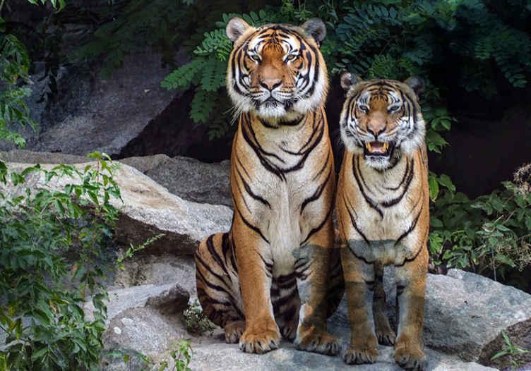 Leones y tigres dan positivo a covid-19 en Washington