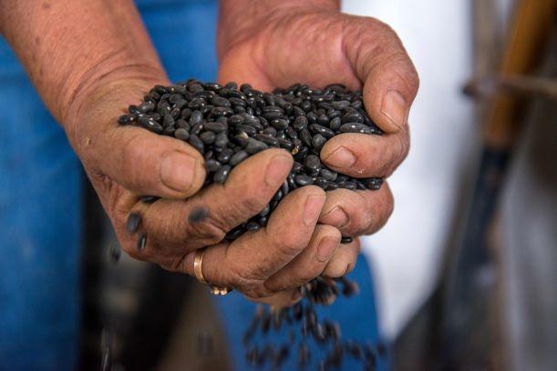 Resultados de la investigación del frijol negro Jamapa siguen vigentes en el mundo